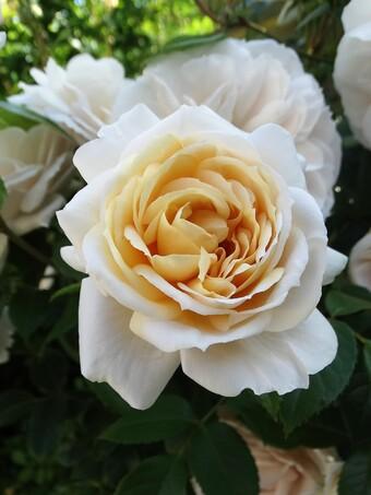 Un rosier coup de coeur: Lions  Rose
