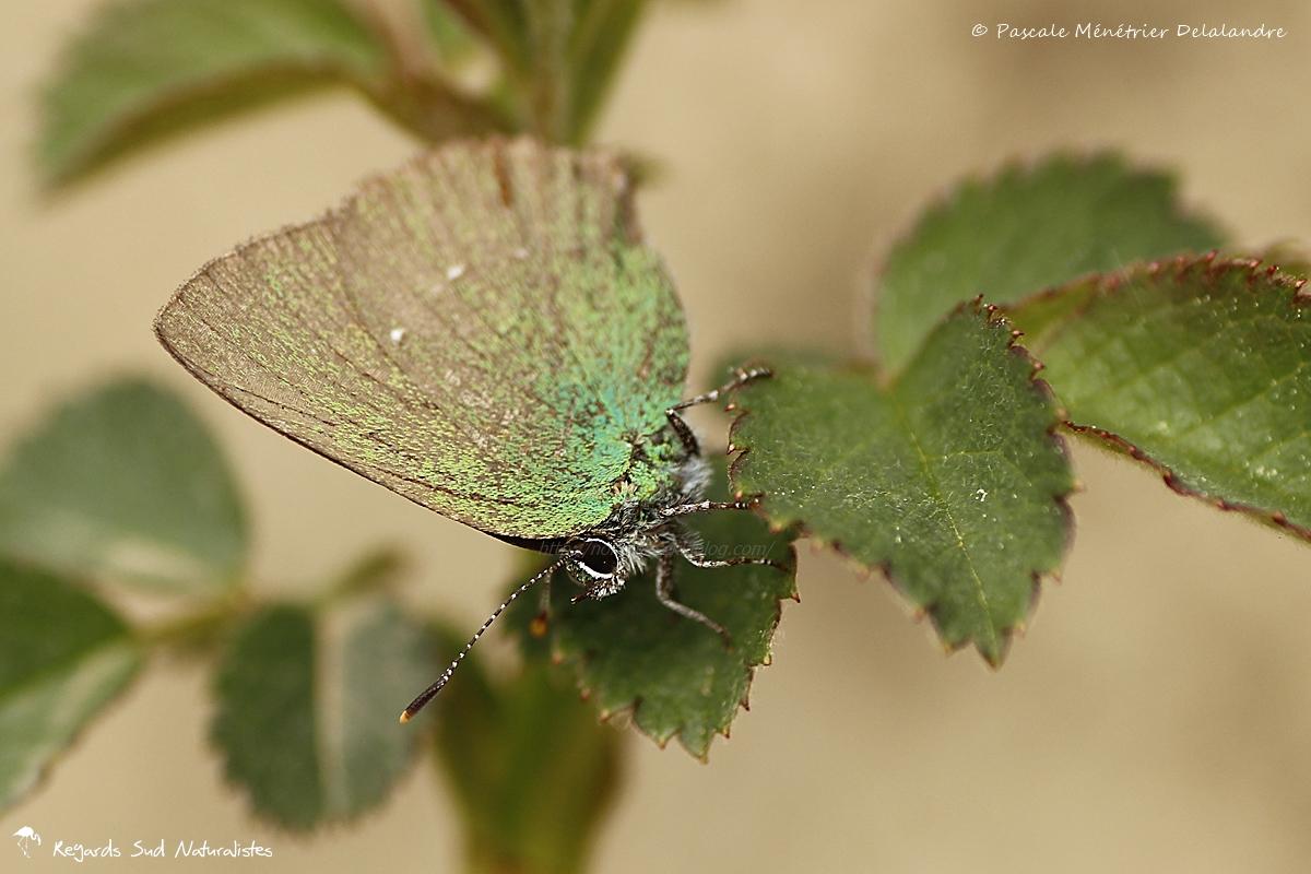 Thècle de la ronce ou Argus vert