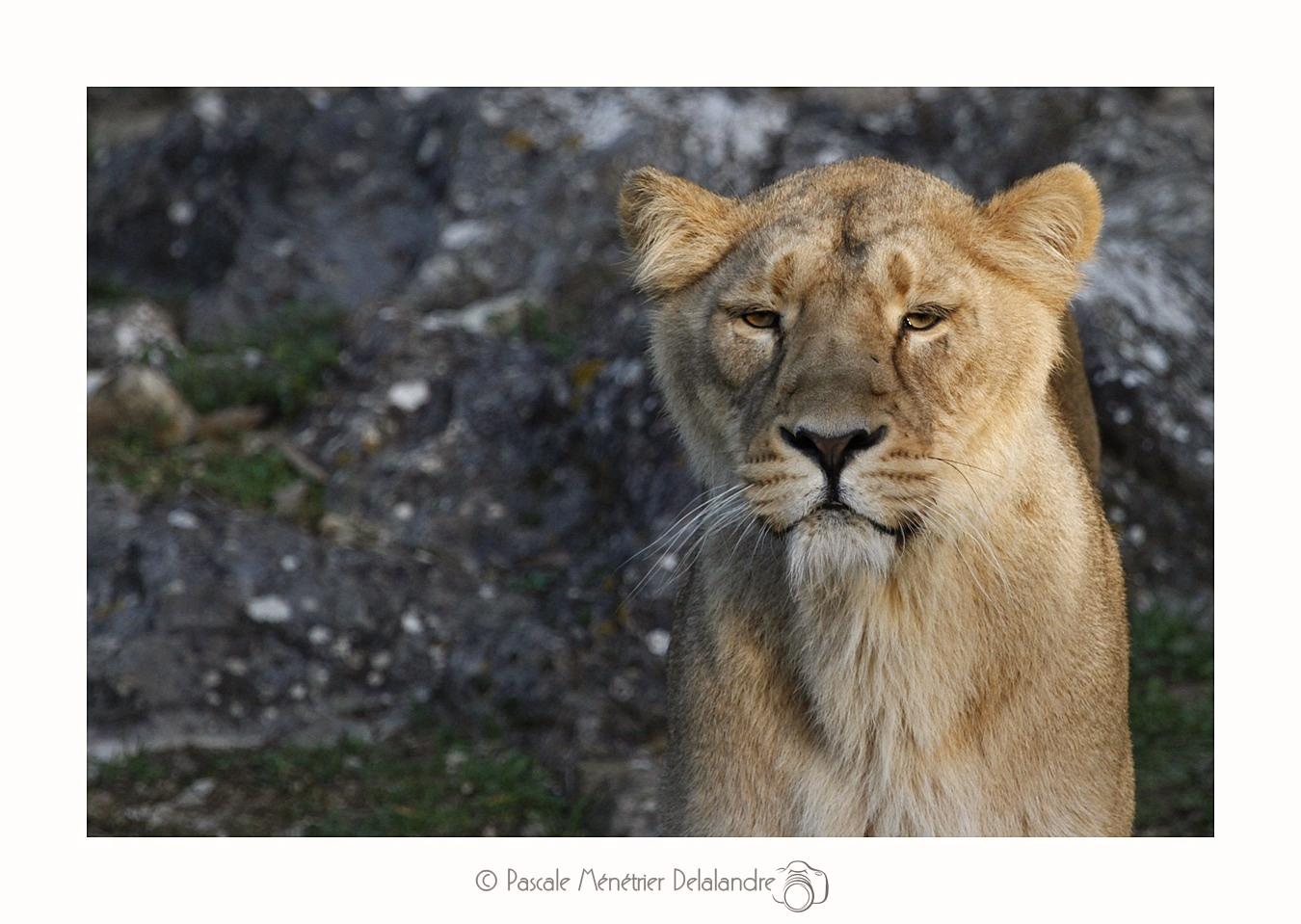 Lionne d'Asie  (Panthera leo persica ou Panthera leo sinhaleyus)