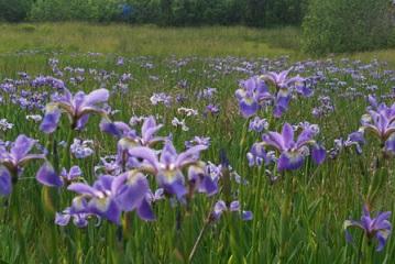 Les iris sauvages ...