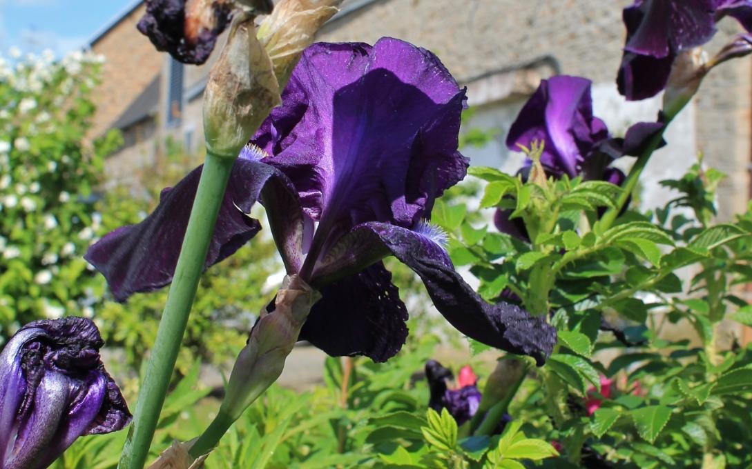 Bonne soirée à toutes et tous ( suite les Iris ) .