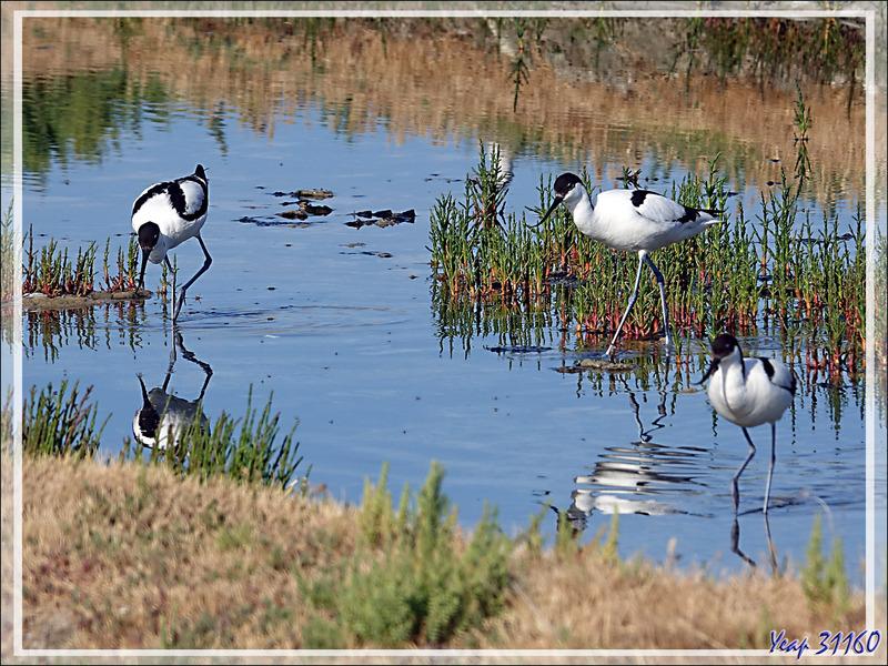 Avocettes élégantes, Pied Avocets (Recurvirostra avosetta) - Ars-en-Ré - Ile de Ré - 17