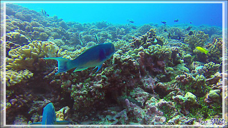 Poisson-perroquet grand bleu, Steephead parrotfish (Chlorurus microrhinos) formes mâle (bleu) puis femelle (orange) ? - Tumakohua (passe sud) - Atoll de Fakarava - Tuamotu - Polynésie française
