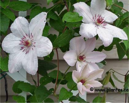 Photo de Clématite 'John Paul 2' - Clematis 'John Paul II'