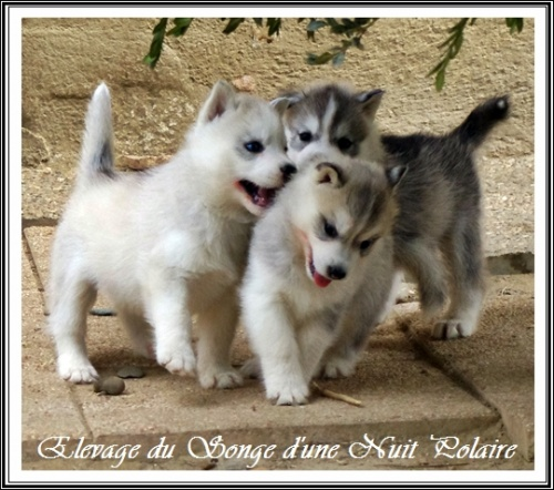 Chiots Huskys Groupe (37j)