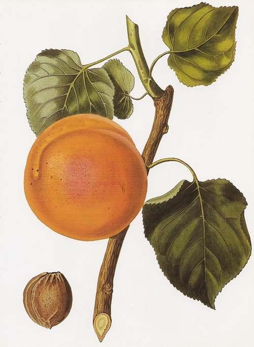Vertus des Plantes Médicinales : ABRICOTIER