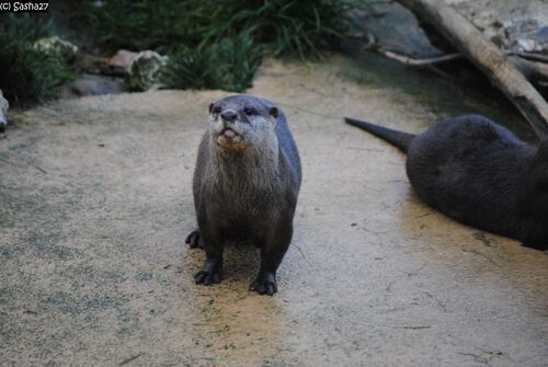 Loutre Naine d'Asie.