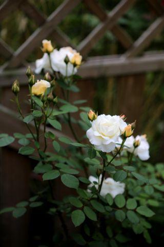 Jardin blanc