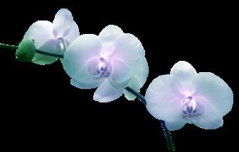 ♥ Orchidée ♥