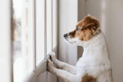 Peur de l'abandon chez le chien : s'exercer à rester seul... après le télétravail
