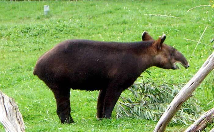 Tapir des montagnes