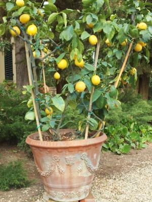 Le citronnier ...