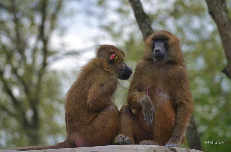 Le Parc Zoologique de Paris : Le babouin de Guinée