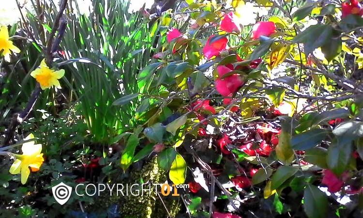 le printemps dans mon jardin,jacinthes,narcisses ,muscaris,camélia,tout ces bulbes ont étaient plantés au mois de Novembre 2016