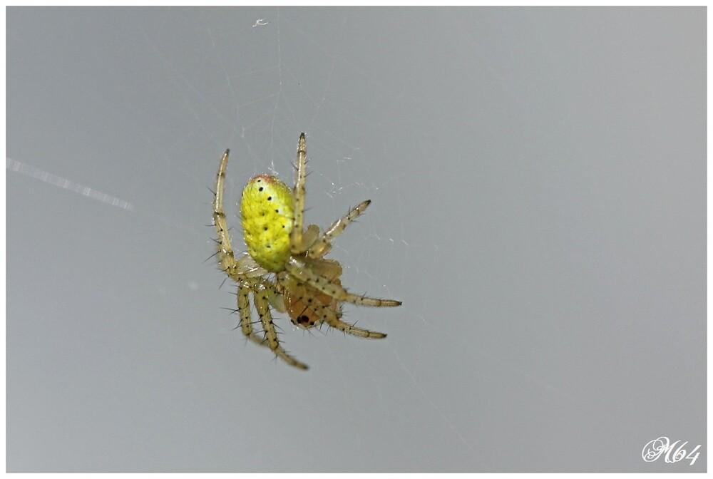 Araignée courge : Araniella cucurbitina
