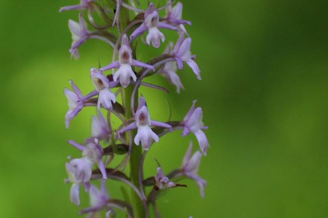 Orchis moucheron (Gymnadenia conopsea)