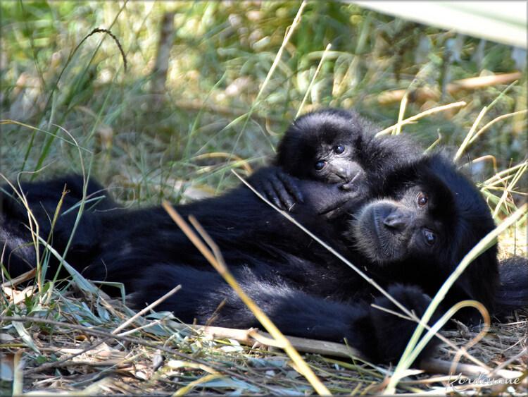 Photo jeune Siamang - Zoo d'Arcachon