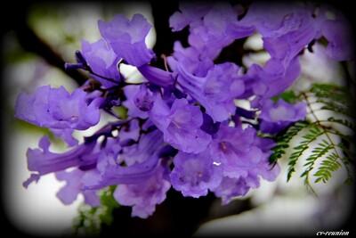 "Jacaranda ou ""Flamboyant Bleu"" (Jacaranda mimosifolia)"
