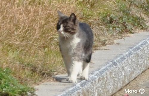 日本の猫 chats japonais