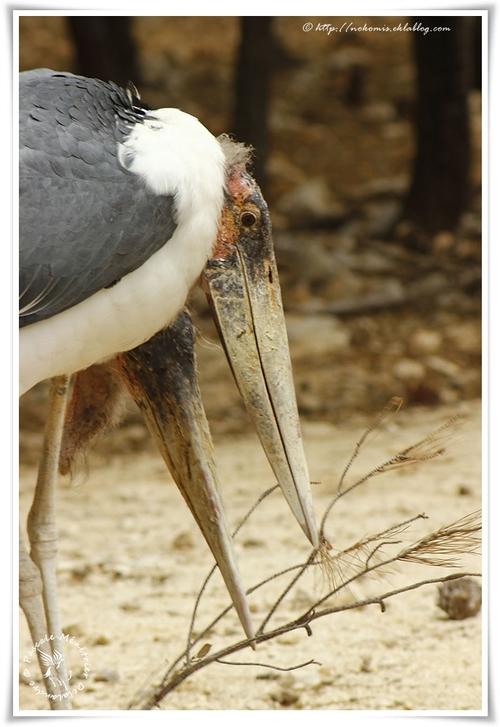 Marabout d'Afrique - Leptoptilos crumenifer - Marabou Stork (Ciconiiformes)