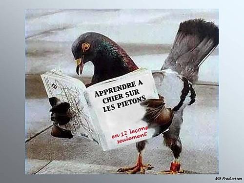 le-pigeon-studieux.jpg