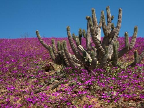 Le désert en fleurs ...