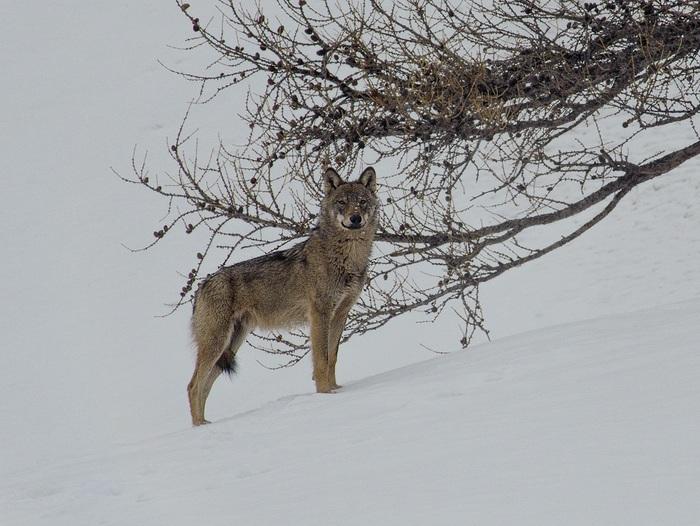 Renart et Ysengrin, le renard et le loup mal-aimés !