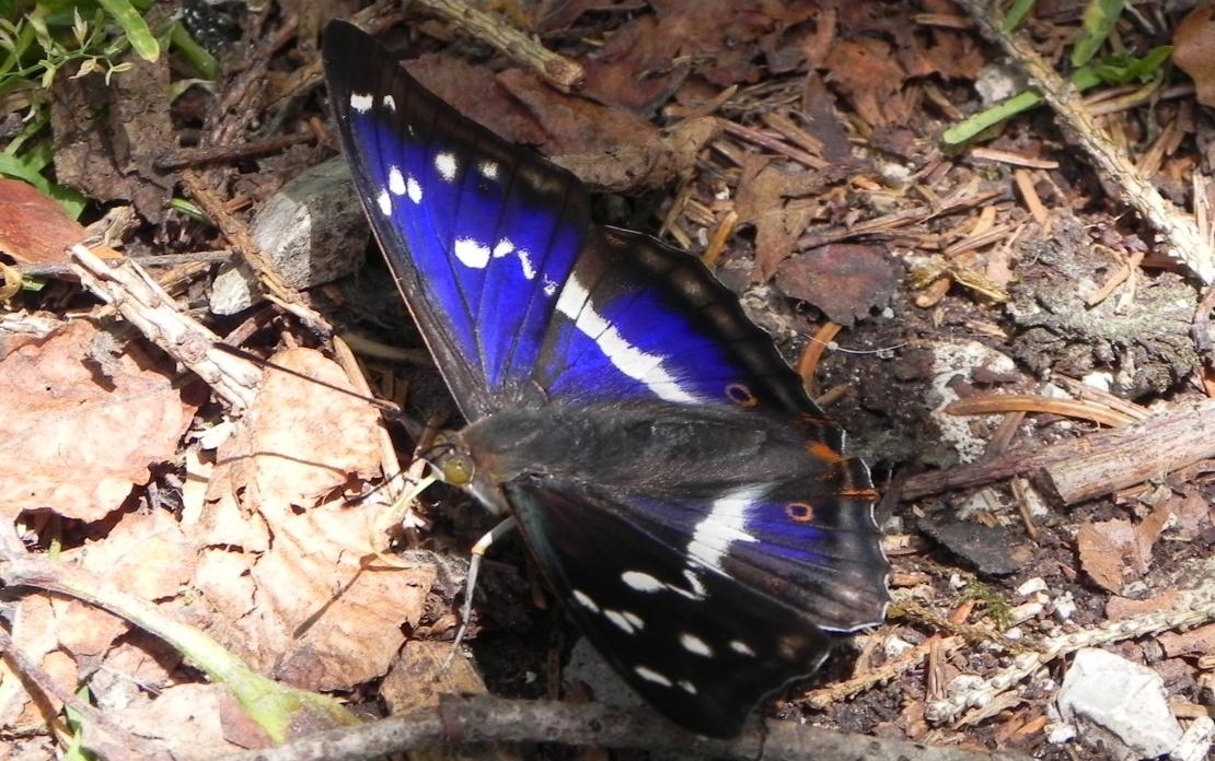 un papillon bleuté