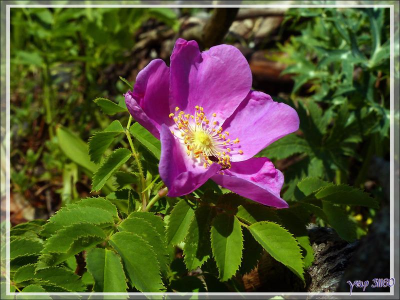 Rosier velu ou Eglantier velu (Rosa villosa) - Artiga de Lin - Es Bordes - Val d'Aran - Espagne