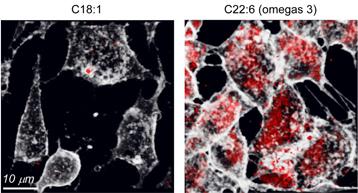 Endocytose de transferrine (transport du fer) dans des cellules contenant des lipides polyinsaturés dans leurs membranes (à droite) par rapport à celle dans des cellules qui en sont dépourvues (à gauche).