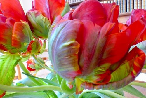 Tulipes :