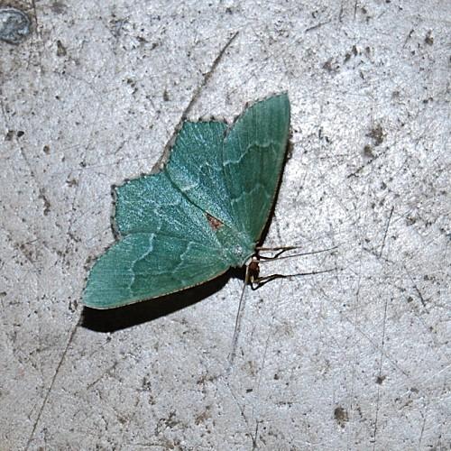 Hemithea aestivaria - Geometridae 1