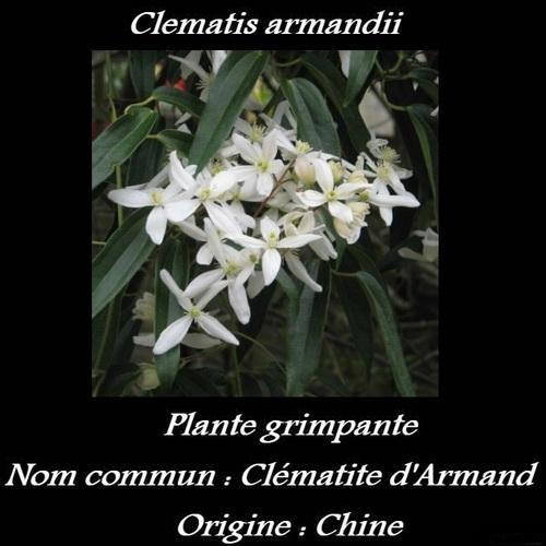 Clematis armandii