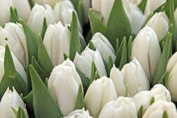 La tulipe.