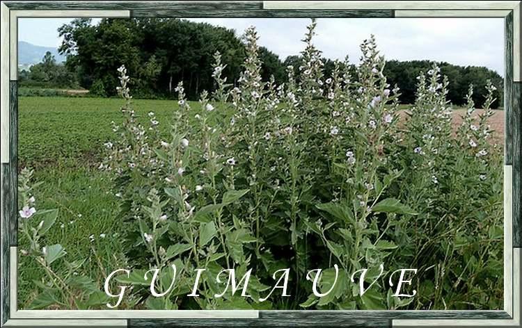 Vertus médicinales des plantes sauvages : Guimauve