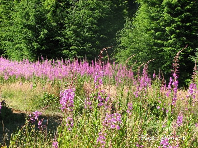 Nouvelles du Canada 149 : Fireweeds Épilobes