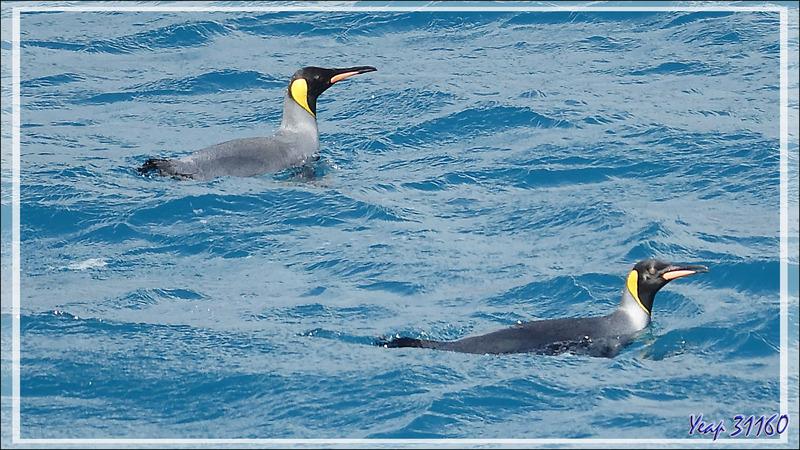 Dernières images en faisant la queue pour débarquer (10 par Zodiac), en particulier sur la pêche des Manchots royaux - Whistle Cove - Fortuna Bay - Géorgie du Sud