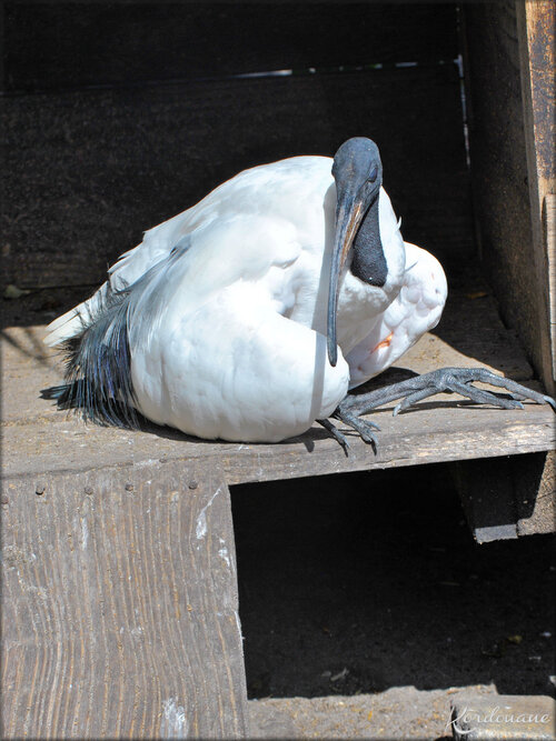 Photo de Ibis Sacré (Ferme Exotique-Cadaujac)
