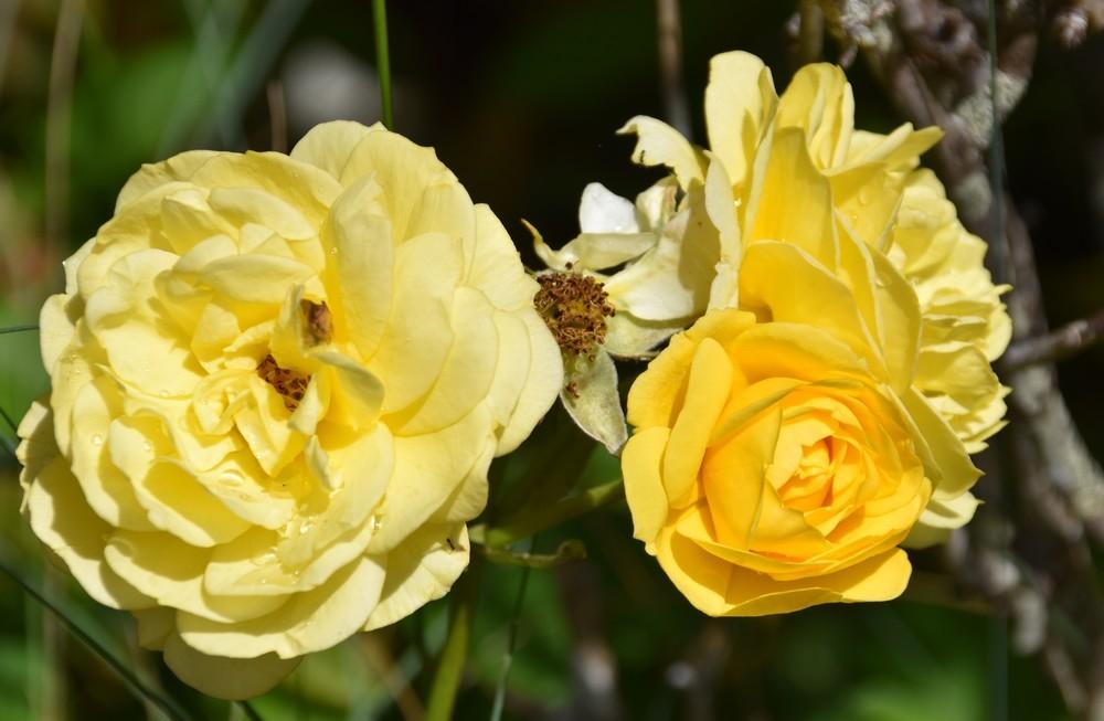 Les fleurs du jardin - juin 2019...