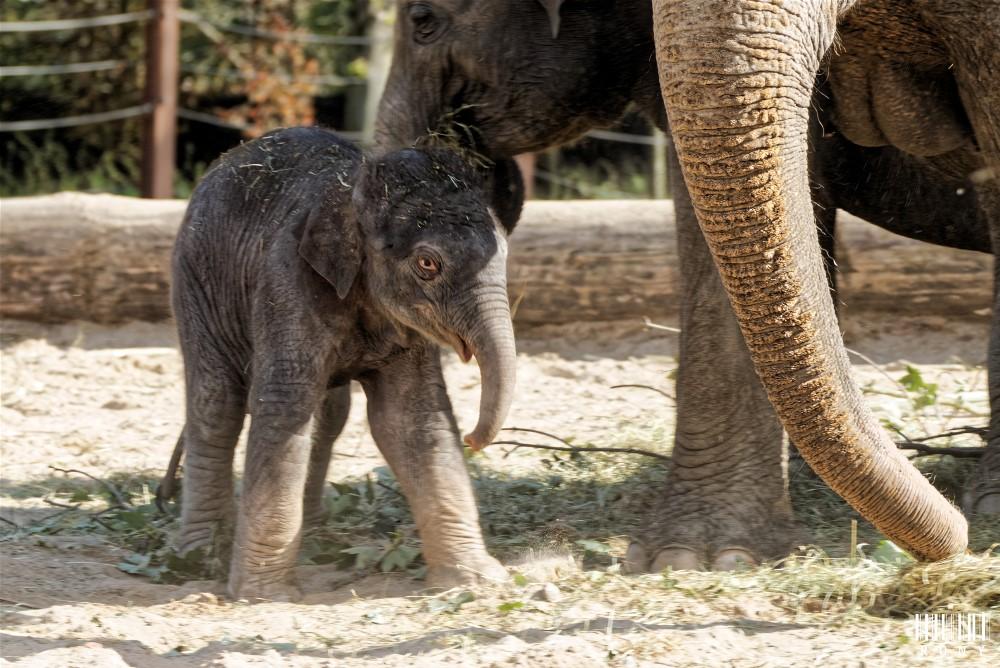 Mes premières photo d'un bébé éléphanteau de 2 jours né a Pairi Daiza. Part.3