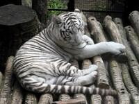 Tigre Blanc : Pairi Daiza le 8 septembre 2014