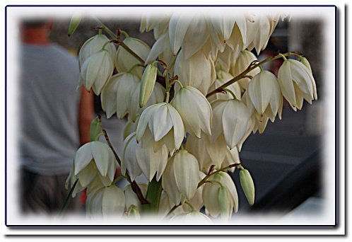 antibes-fleurs-blanches.jpeg