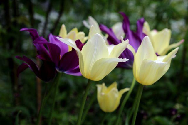 Tulipes 2021 : Elegant Lady et Purple Dream