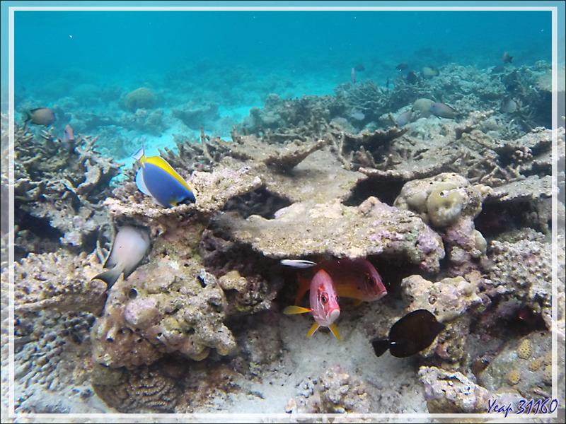 Snorkeling : Poisson-écureuil à grande mâchoire, Marignan sabre, Soldat armé, Poisson-écureuil à épines, Sabre squirrelfish (Sargocentron spiniferum) - Moofushi - Atoll d'Ari - Maldives