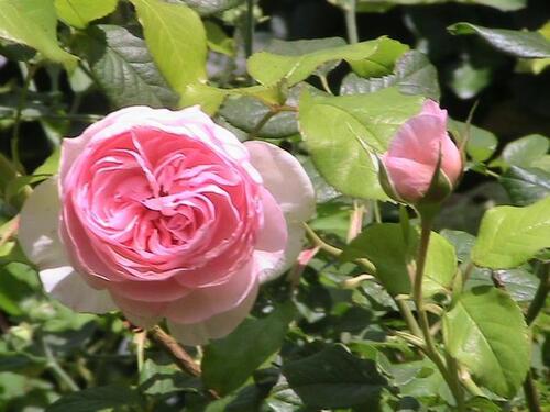 Les rosiers abandonnés ou perdus