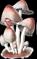 *** Fairy Rose ***