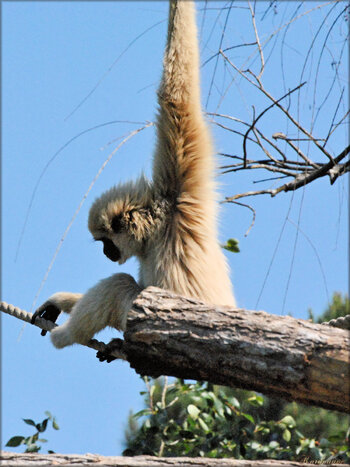 Photo de gibbon lar (Zoo du bassin d'Arcachon)