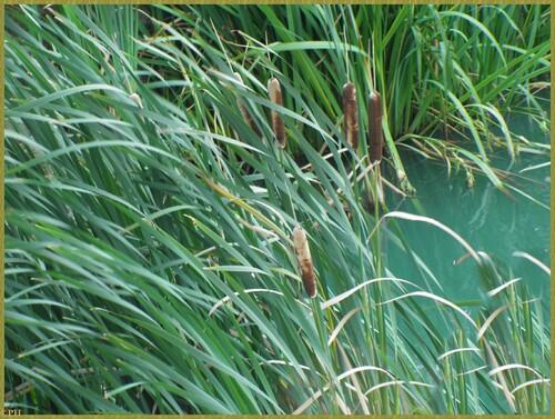Massette à larges feuilles