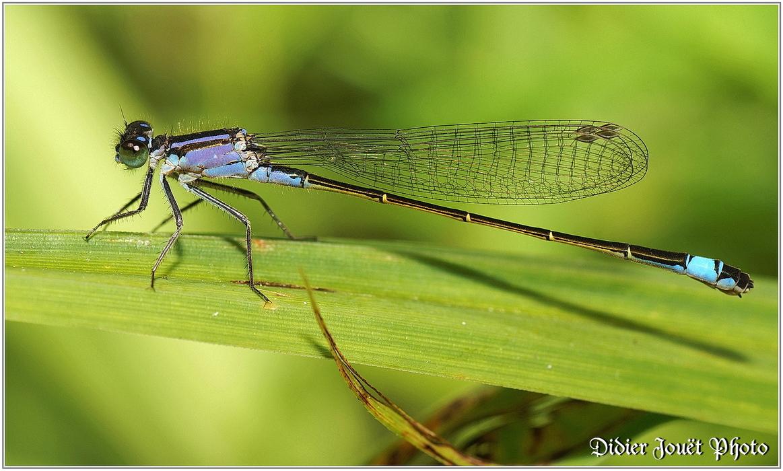Agrion Elégant / Ischnura elegans