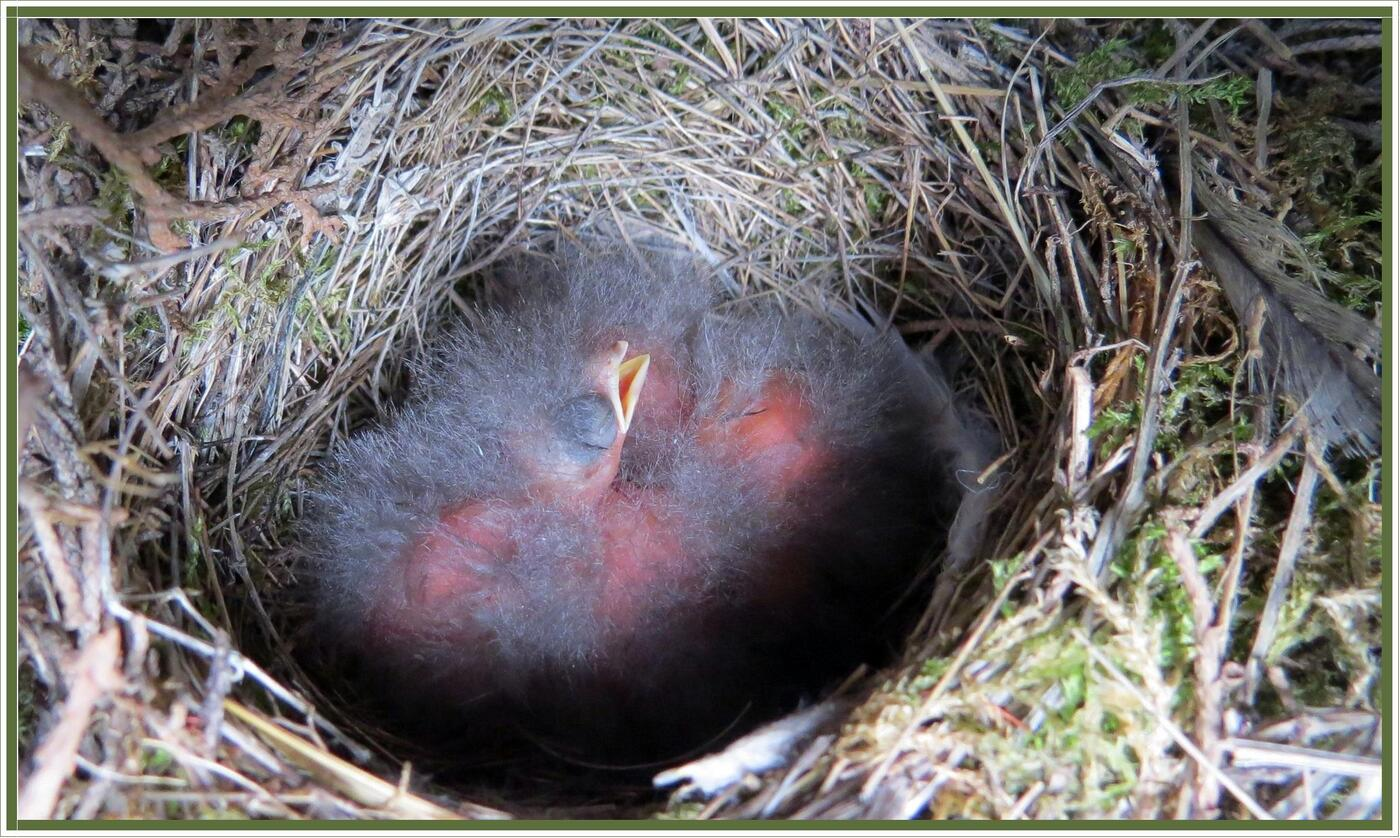 Les oisillons sont nés !
